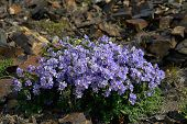 picture of chukotka  - Flowers cyanosis  - JPG