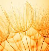 picture of dandelion seed  - Dandelion seed in golden sunlight - JPG