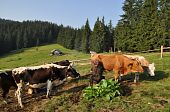 image of milkmaid  - Morning milking on a mountain pasture in a shelter against wood - JPG