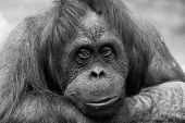 stock photo of orangutan  - Portrait of a sad female of an orangutan monochrome - JPG