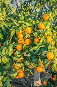 foto of tangerine-tree  - Tangerine Tree. Ripe and fresh tangerines with leaves on tree