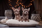 foto of chihuahua  - Chihuahua dog lying on pillows  on a studio background - JPG