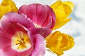 image of photosynthesis  - tulip flowers close up selective focus with shallow depth of field - JPG