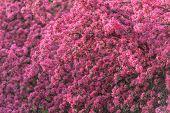 foto of sakura  - beauty sakura twig close up - JPG