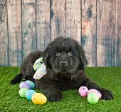 stock photo of egg-laying  - Newfoundland puppy laying in the grass with Easter eggs around him with copy space - JPG