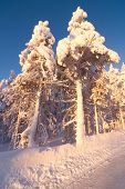 image of laplander  - Winter wonderland at sunset around Levi Lapland - JPG