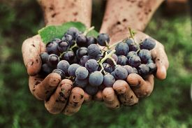image of food plant  - Grapes harvest - JPG