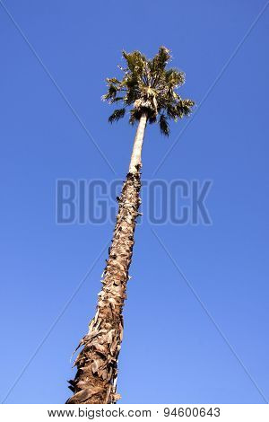 Single Tall Palm Tree Against Clear Blue Sky
