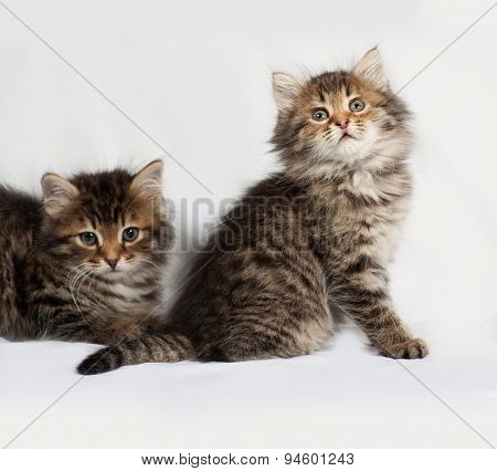 Two Fluffy Siberian Striped Kitten Lies On Gray