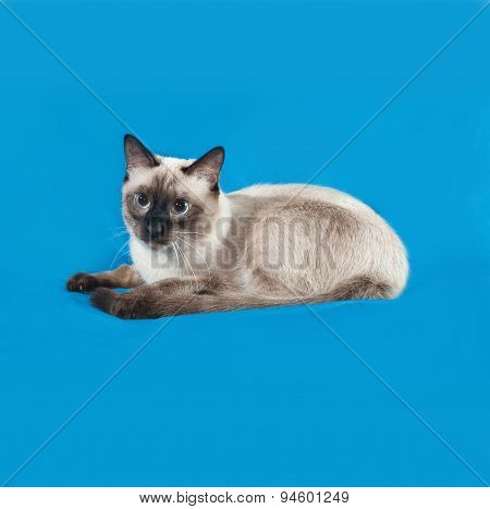 Thai White Cat Lies On Blue