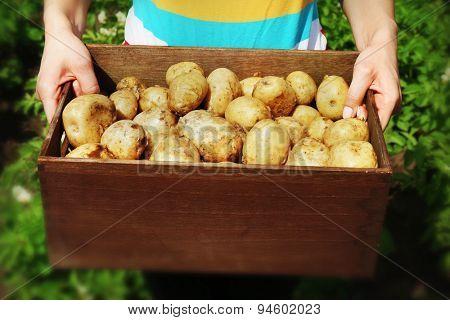 Female hands with new potatoes in wooden crate in garden