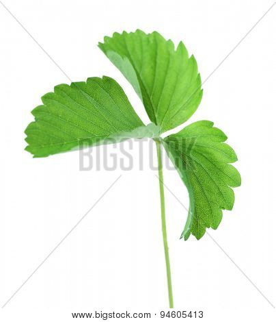 Strawberry leaf, isolated on white