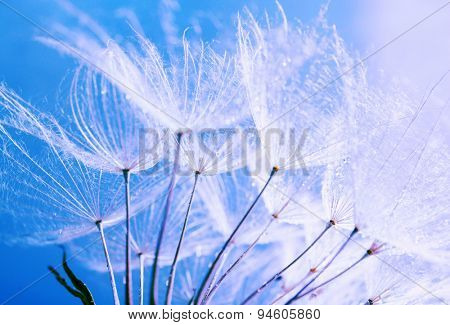Beautiful dandelion with seeds, macro view