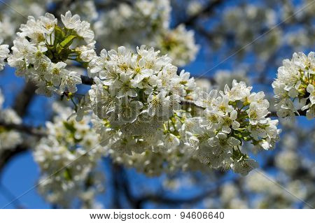 Branch Of The Blossoming Sweet Cherry Against The Sky, Close Up