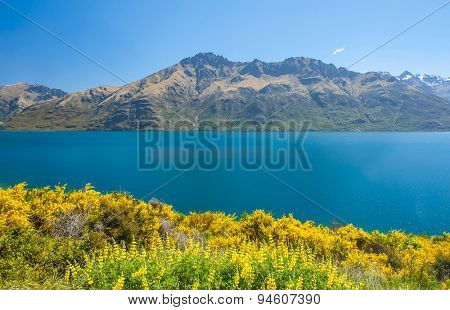 Beautiful lake Wakatipu with mighty mountains and blooming yellow gorse (Ulex europaeus). Otago region, New Zealand