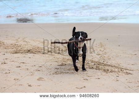 Dog running on beach with stick