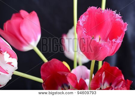 Close Up Image Of Tulip On Black, Flowers