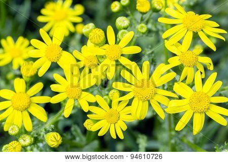 Yellow Flowers Of Spring Groundsel, Close Up