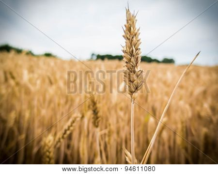 Grown Wheat