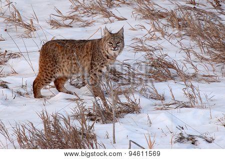 Bobcat Pausing