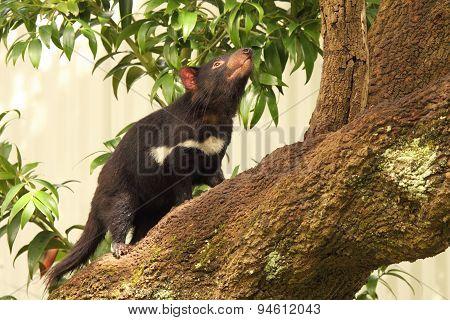 Tasmanian Devil Tree Climbing