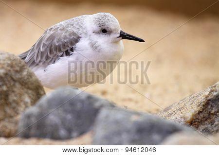 Sanderling Resting