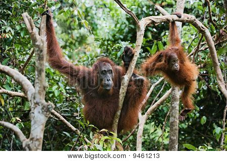Female Orangutan and Baby In Branches Of Trees