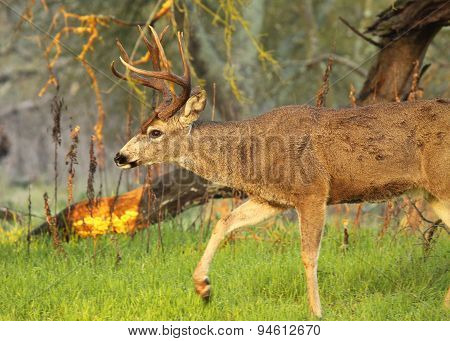Black-tailed Deer Buck Stepping