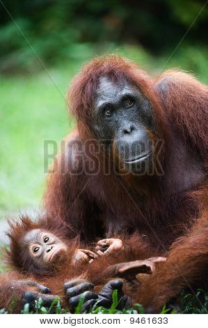Female Orangutan With The Cub.