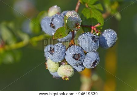 Ripe Wet Blueberry Cluster