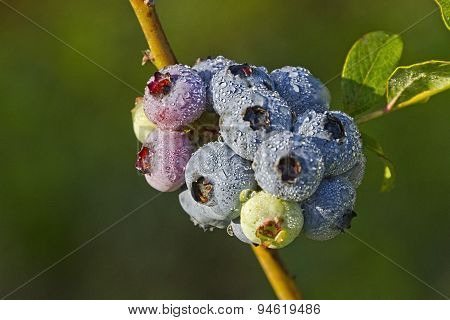 Dewy Blueberry Cluster