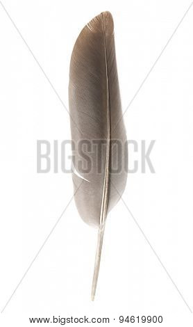 Feather on of a bird on white