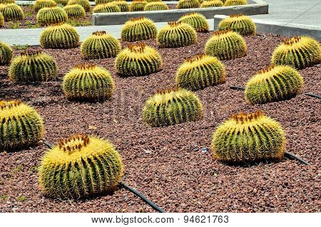 Round Succulent Plant