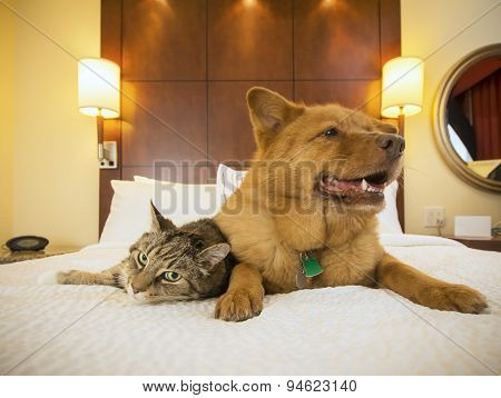 Cat And Dog Together In Hotel Bedroom