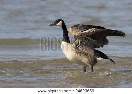 Canada Goose Stretching Its Wings