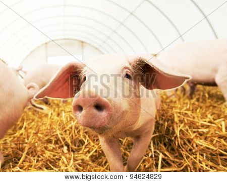 One young piglet on hay and straw at pig breeding farm