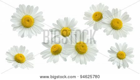 Camomile Group Set Isolated On White