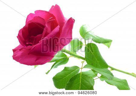 Natural pink rose