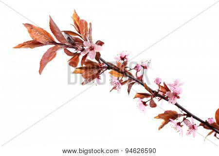 Flowering branch isolated on white