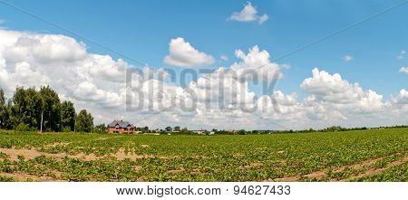 Field Of Sugar Beets