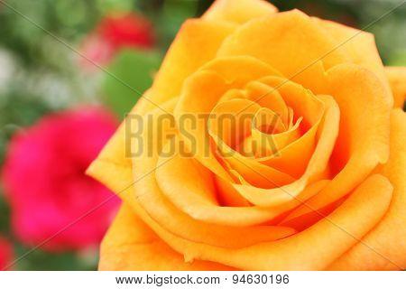 Beautiful orange rose, closeup