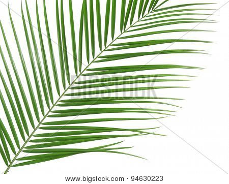 Beautiful palm leaf isolated on white