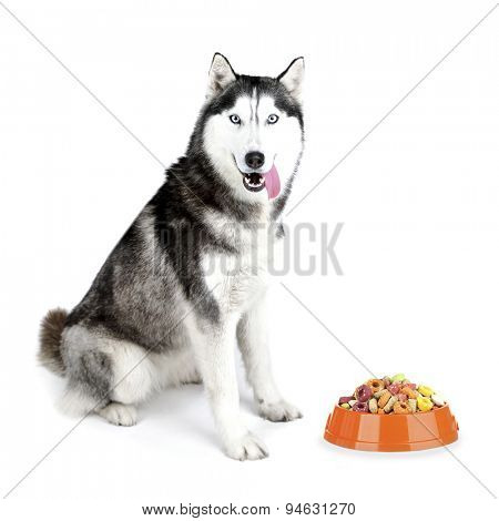 Beautiful cute husky with food, isolated on white
