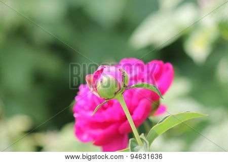 dark pink peony flower opening its petals in the sunlight. pink peony flower.