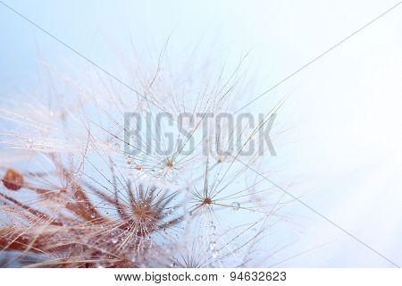 Beautiful dandelion with seeds, macro view