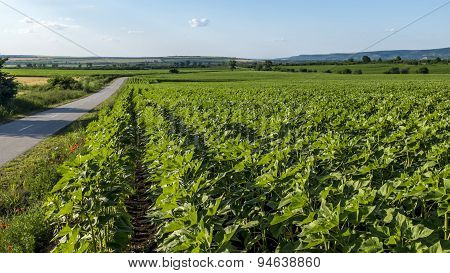 Rows Of Cereal Plants Next To Road