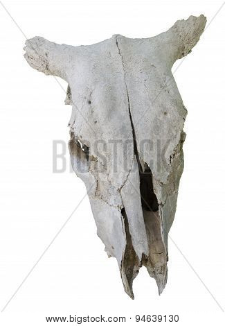 buffalo animal skull