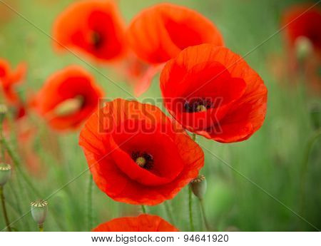 Field of bright red corn poppy flowers, close-up.