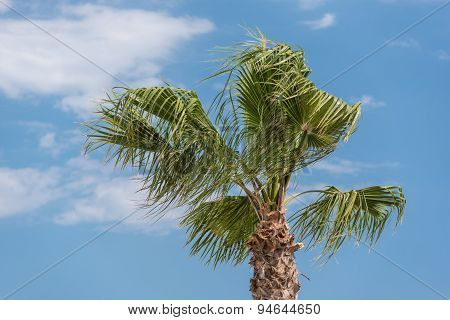 Top Of A Palm Tree In A Windy Day
