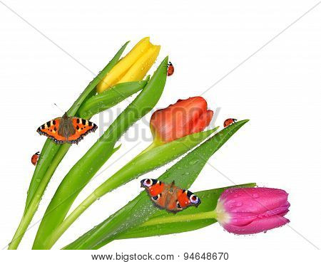 Dewy tulips with butterflies